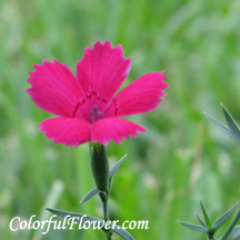 Red Dianthus Zing Rose